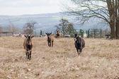 Goats on a farm. — Stock Photo