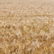 Stock Photo: Wheat field (1)