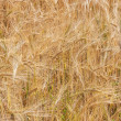 Stock Photo: Wheat field (3)