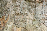 Platan bark — Stock Photo