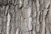 Gray bark — 图库照片