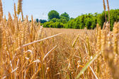 Wheatfield — Stock Photo