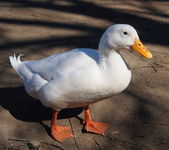 White Duck — Stockfoto