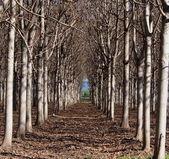 Paulownia plantáž — Stock fotografie