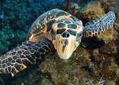 Karetschildpad van dichtbij — Stockfoto