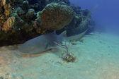 Couchage requin nourrice — Photo