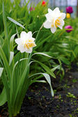 Narcissus poeticus in the garden — Stock Photo