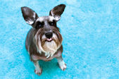 Miniature schnauzer with raised ears and tongue sticking out — Zdjęcie stockowe
