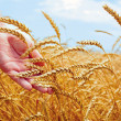 Wheat field and male hand holding cone in summer day — Stock Photo #49584253