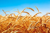 wheat field, fresh crop of wheat — Foto Stock