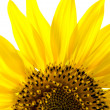 Sunflower — Foto de stock #13255295