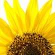 Sunflower — Stockfoto #13255295