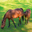 Horse with Foal — Foto Stock