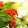 Rowan berries in sunlight - Stock Photo