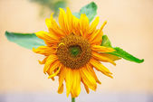 Sunflower from the front — Stock Photo