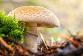 Mushroom, a False Death Cap — Stock Photo