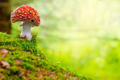 Fly Agaric, red and white — Stock Photo