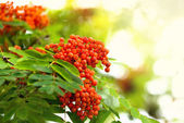 Rowan berries in sunlight — Стоковое фото