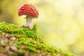 Svamp, flyga person i skogen — Stockfoto