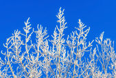 Frosty branches — Stock Photo
