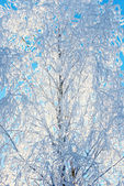 Frost covering bare tree branches — Stock Photo
