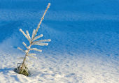 Evergreen plant in winter — Stock Photo