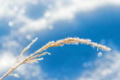 Straw frozen at winter — Stock Photo