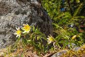 Wood anemone or Anemone nemorosa — Stock Photo