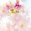 Cherry blossom, Sakura flowers — Stock Photo #24931903
