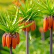 Crown imperial flowers (Fritillaria imperialis) — Stock Photo