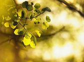 Aspen leafes in sunlight — Stock Photo