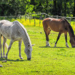 Horses grazing in a pasture — Stock Photo