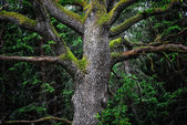 Detail of majestic oak tree in forest — Stock Photo