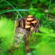 Stock Photo: Mushrooms on old stub