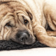 Adult Sharpei on floor looking — Stock Photo