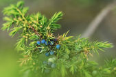 Juniper with blue berries — Stock Photo