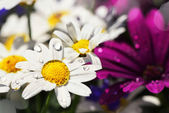 Wet white Daisy and lilac Gerbera — Stock Photo