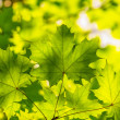 Backlit green maple leaves over blurred foliage — Stock Photo