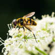 Closeup of flower fly — Stock Photo