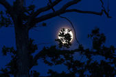 Oak leaves silhouetted Against full moon — Stock Photo