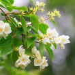 Jasmine flowers on a branch — Stock Photo