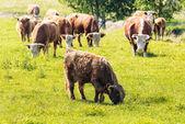 群与一些苏格兰高地牛放牧的奶牛 — 图库照片