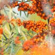 Clusters of orange sea buckthorn — Stock Photo