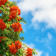 Rowan Berries on a tree with blue sky — Stock Photo