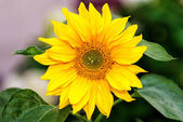 Sunflower with blurred background — Stock Photo