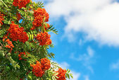 Rowan Berries on a tree with blue sky — Stock fotografie