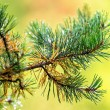 Branch of a pine tree with raindrops — Stock Photo