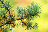Branch of a pine tree with raindrops — Zdjęcie stockowe