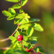Rosehip against green background — Stock Photo