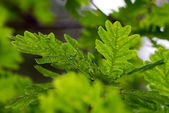 Oak leafs in bright background — Foto de Stock